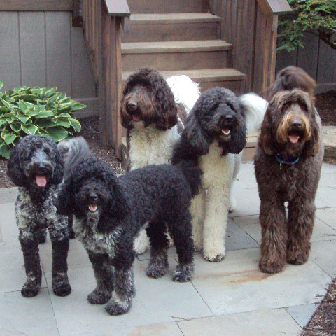 Family Labradoodles and Goldendoodles - Home